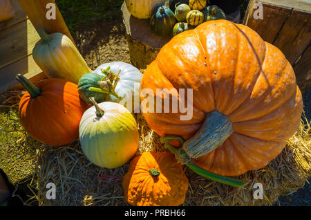 Assorted Squashes for sale in the Helmsley Walled Garden North Yorkshire in autumn - Stock Image