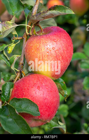 Big braeburn apples riping on the apple tree  close up - Stock Image