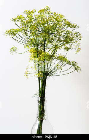 Dill, Anethum graveolens, yellow flowers against a white background - Stock Image