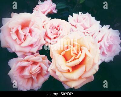 Orange rose flowers - Stock Image