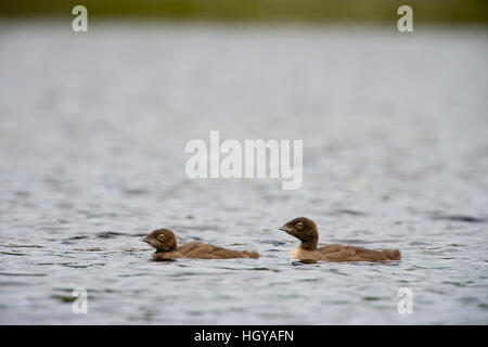 Common loon chicks, Gavia immer,  on East Inlet in Pittsburg, New Hampshire.  A pond upstream of Second Connecticut - Stock Image