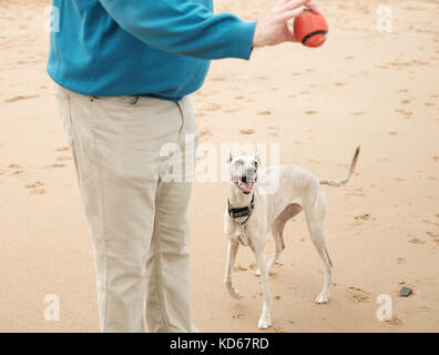 Man throwing ball for whippet dog on beach in Margate, Kent, UK - Stock Image