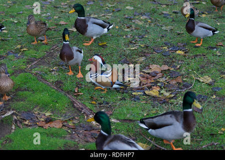 Male mandarin duck surrounded by groups of Mallard ducks (male and female) - Stock Image