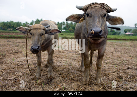Two young carabao stand in a rice field in Mansalay, Oriental Mindoro, Philippines. - Stock Image