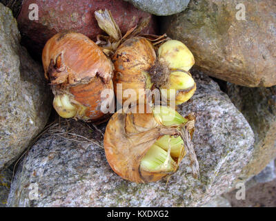 Some crippled mutilated onions outdoor on stones close up - Stock Image