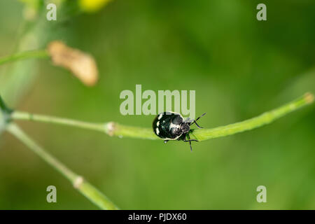 Black and white shield bug (Eurydema oleracea) also known as the crucifer shield bug, the cabbage bug or the brassica bug, walking of a green plant st - Stock Image