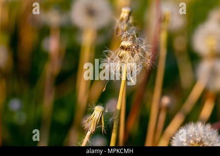 Dandelion clock seed heads with dispersed flowers at sunset - Stock Image