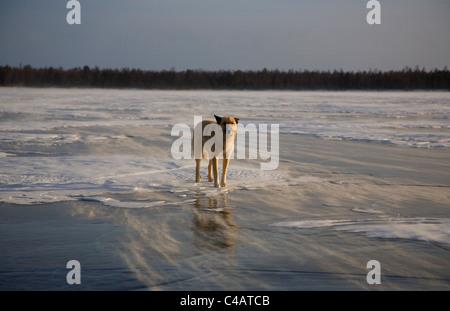 Russia, Siberia, Baikal; A wolf on frozen lake baikal - Stock Image