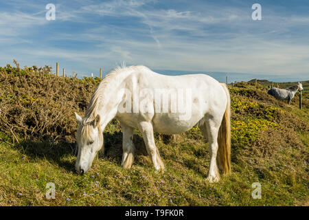 White horse feeding on the clifftops above and behind Strumble Head lighthouse on the north Pembrokeshire coast, west Wales on a late sunny afternoon - Stock Image