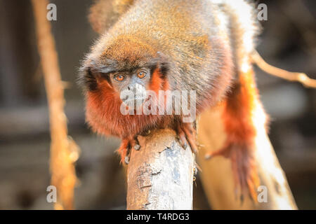 ZSL London Zoo, London, UK, 18th April 2019. A Red Titi-Monkey decides to rest on a tree branch and make the most of the beautiful sunshine. Credit: Imageplotter/Alamy Live News - Stock Image