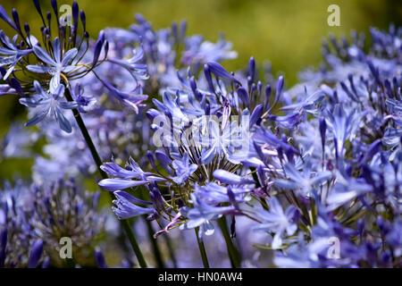 purple flowers in a garden - Stock Image