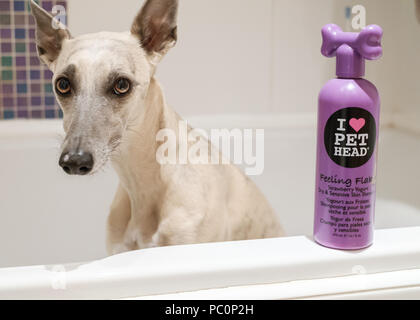 Brindle whippet dog in bath with bottle of dog shampoo - Stock Image