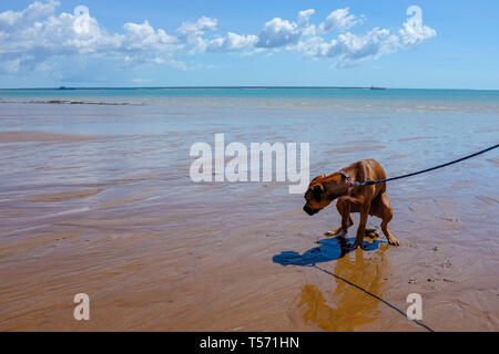 Dog defecating on the beach. - Stock Image