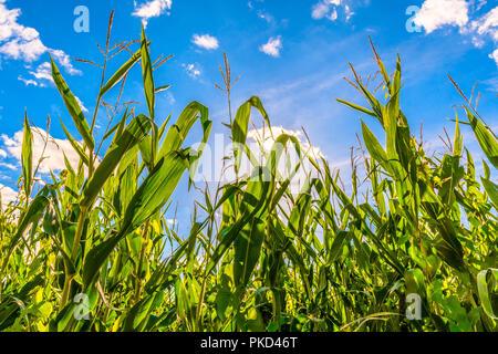 cornfield in sunlight - Stock Image