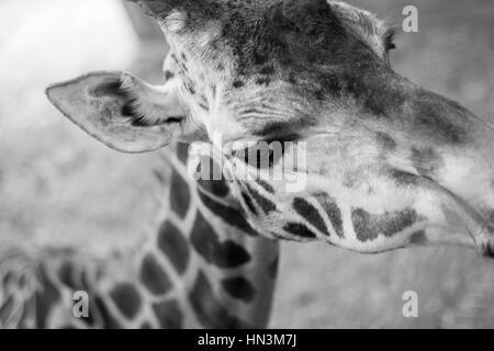 A portrait of a Giraffe - Stock Image