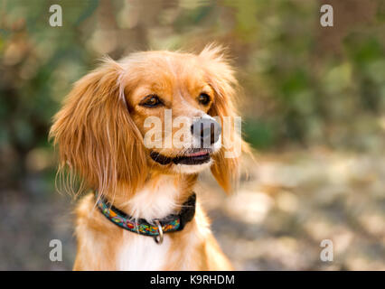 Cocker Spaniel is a cute Cocker Spaniel puppy dog looking happy to be outdoors in nature. - Stock Image