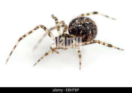 (Theridion mystaceum) Female Theridion mystaceum spider on white background. Family Theridiidae, Comb-footed spiders - Stock Image
