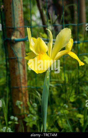 A yellow iris growing in a garden in north east Italy - Stock Image
