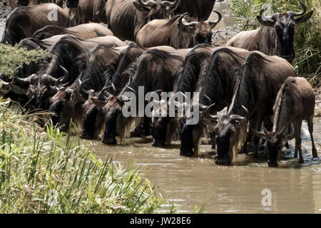 Western White-bearded Wildebeest (Connochaetes taurinus mearnsi) crossing the Sand River, lining up to have some water - Stock Image