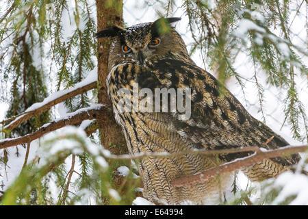 Eagle Owl, Finland - Stock Image