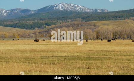Grand Tetons and Bison, Wyoming USA - Stock Image