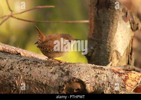 Wren walking on a log in the sunshine. Troglodytidae. - Stock Image