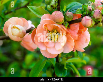Coral pink, early spring semi double flowers of the ornamental Japanese quince, Chaenomeles x speciosa 'Geisha Girl' - Stock Image