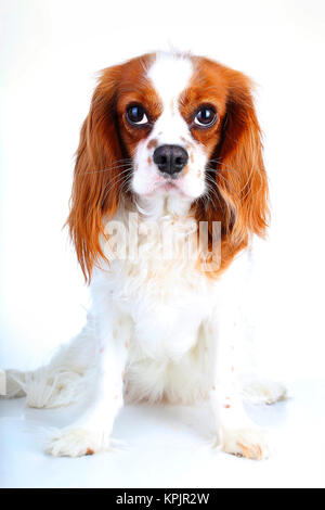 Cavalier king charles spaniel dog photo. Beautiful cute cavalier puppy dog on isolated white studio background. - Stock Image