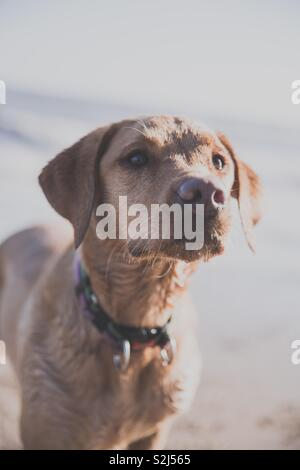 A portrait of a fit and healthy young yellow Labrador retriever dog on a beach and waiting intently for a command from her master - Stock Image