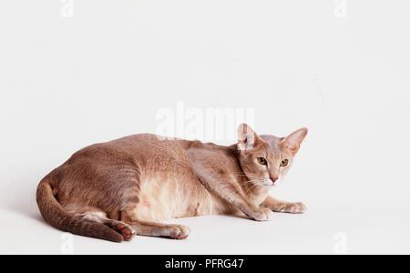 Pregnant Siamese - Stock Image