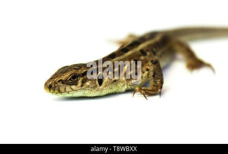 Grey lizard close-up isolated on white background - Stock Image