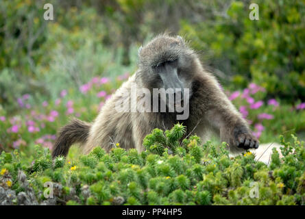 Baboon in the Cape of Good Hope National Park on the Cape Peninsula, Western Cape near Cape Town, South Africa - Stock Image