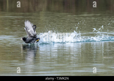 Two coots (fulica atra) running in unison and showing aggressive fighting territorial behaviour in early spring - Stock Image