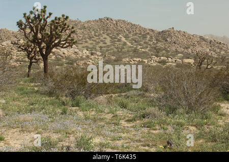Joshua trees in the Mohave Desert ecosystem of Big Rock Creek Wildlife Sanctuary, California. Digital photograph - Stock Image