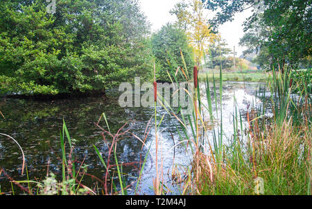 Highly invasive reedmace plants (Typha latifolia) grow in a small pond surrounded by trees and grass in rural Shropshire, England. - Stock Image