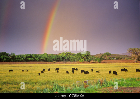 Rainbow over grazing cattle in irrigated pasture on the U Bar Ranch, Gila River Valley, Grant County, New Mexico - Stock Image