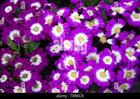Background flowerbed pink purple flower - Stock Image