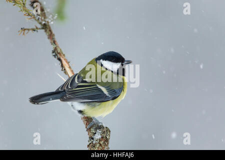 Great tit, Latin name Parus major, perched on a thin branch in a snow shower - Stock Image