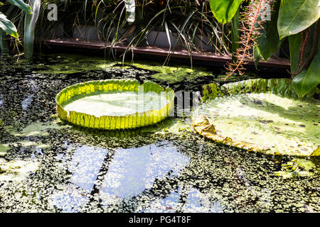 Giant water lilies, Victoria Amazonica, pond, giant Lilly pads, lili pads, giant, huge, amazon lily pads,  giant water lily,  giant water lily pads, - Stock Image