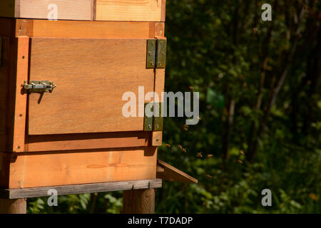 side view of blurred bees flying in a hive lit by the spring sun, nature wooden beehive and flying bees - Stock Image