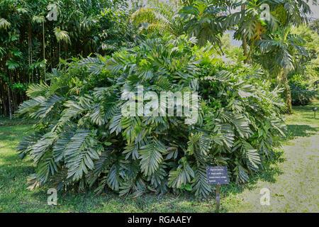 Zamia Pumila or coontie palm. Botanical garden. Rio de Janeiro. Brazil - Stock Image