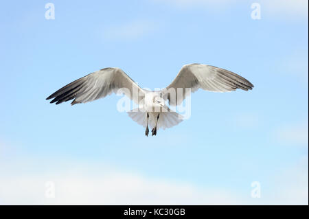 Seagull flying is a good looking pacific coast seagull flying in the blue mid day sky. - Stock Image