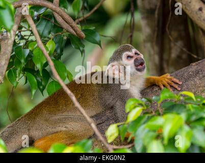 Squirrel monkey Saimiri sciureus at Singapore River Safari, Sinagpore - Stock Image