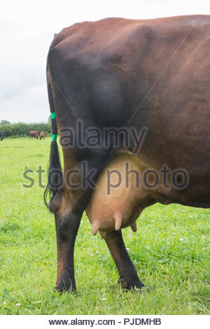 Dairy cow in field, detail of hind legs and udder - Stock Image