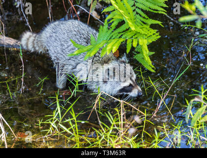 The North American Raccoon stalking and feeding in the Okefenokee swamp. - Stock Image