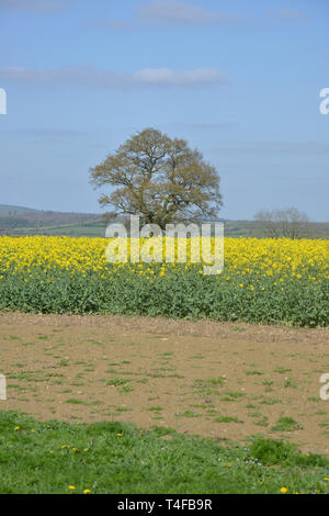 A field of oil seed rape in flower near the Warwickshire village of Wormleighton - Stock Image