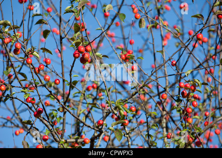 Red sentinel ( malus x robusta ,  crab apple ) apple tree and apples - Stock Image