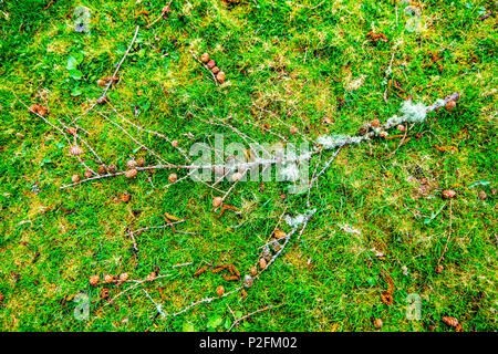Poster of the forest floor near Loch Carron in the Highlands of Scotland with pine cones, twigs and branches with lichen, grass and mosses - Stock Image