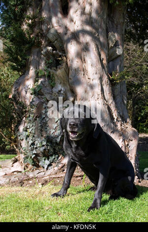 elderly black labrador sitting under yew tree - Stock Image