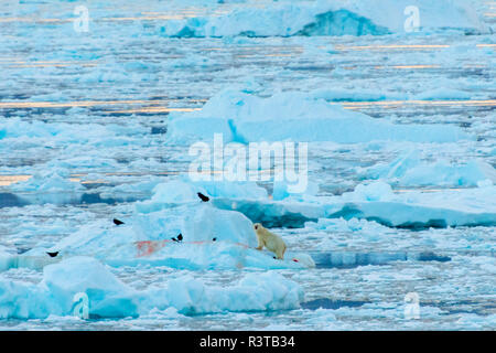 Greenland. Scoresby Sund. Gasefjord. Polar bear (Ursus Arctos maritimus) and ravens on a kill. - Stock Image